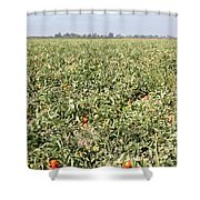 Tomato Field, California Shower Curtain