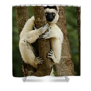 Verreaux's Sifaka Shower Curtain