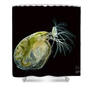 Water Fleas Simocephalus Sp., Lm Shower Curtain