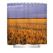 Wheat Crop In A Field, North Dakota, Usa Shower Curtain