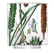 Wheat, Triticum Vulgare Shower Curtain