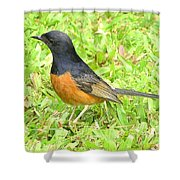 White-rumped Shama Shower Curtain