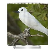 White Tern  Midway Atoll Hawaiian Shower Curtain by Sebastian Kennerknecht