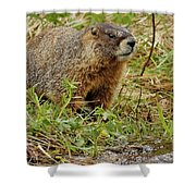 Yellow-bellied Marmot Shower Curtain