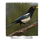 Yellow-billed Magpie Shower Curtain