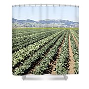 Young Broccoli Field For Seed Production Shower Curtain
