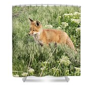 Young Red Tailed Fox Shower Curtain