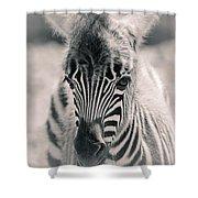 Zebra Colt In Spring Shower Curtain