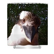 Australia - Kookaburra Looking Right At You Shower Curtain