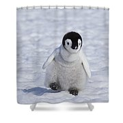 Emperor Penguin Chick Shower Curtain