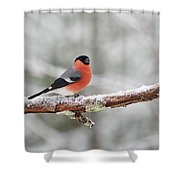 Eurasian Bullfinch In Winter Shower Curtain