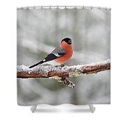 Eurasian Bullfinch In Winter Shower Curtain