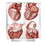 Heart, Anatomical Illustration, 1814 Shower Curtain