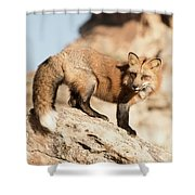Red Tailed Fox Shower Curtain