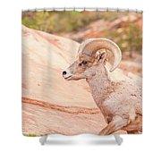 Desert Bighorn Ram Shower Curtain