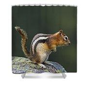 Golden-mantled Ground Squirrel Shower Curtain