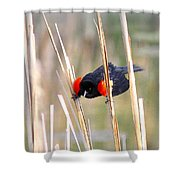 1911 - Red-winged Blackbird Shower Curtain