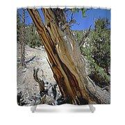 1n6956 Methuselah Tree Shower Curtain
