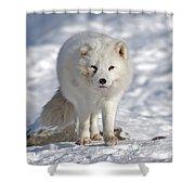 Arctic Fox... Shower Curtain