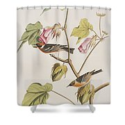 Bay Breasted Warbler Shower Curtain