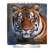 Bengal Tiger Laying In Water Shower Curtain