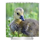 Canadian Goose Chick Shower Curtain