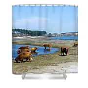 Cattle Scottish Highlanders, Zuid Kennemerland, Netherlands Shower Curtain