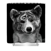 Closeup Portrait Of Akita Inu Dog On Isolated Black Background Shower Curtain