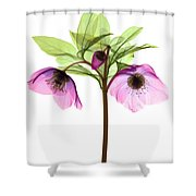Hellebore Flowers, X-ray Shower Curtain