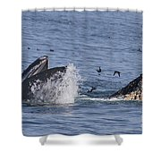 Lunge-feeding Humpback Whales Shower Curtain