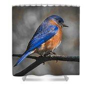 Male Eastern Bluebird Shower Curtain