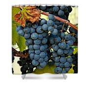 Marechal Foch Grapes Shower Curtain