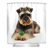 Miniature Schnauzer Shower Curtain by Jane Burton