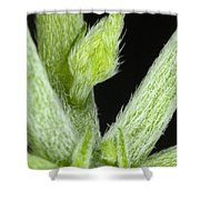 Node And Petioles On A Marijuana Plant Shower Curtain