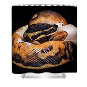 Piedbald Ball Python Shower Curtain