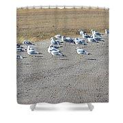 Ring Billed Gulls  Shower Curtain