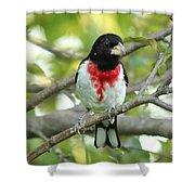 Rose-breasted Grosbeak Shower Curtain