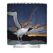 Salvins Albatross At Sunset Shower Curtain