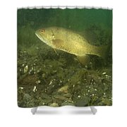 Smallmouth Bass Protecting Eggs Shower Curtain