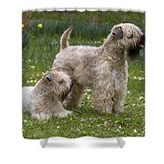 Soft-coated Wheaten Terriers Shower Curtain