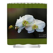 White Orchid - Doritaenopsis Orchid Shower Curtain