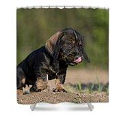 Wire-haired Dachshund Puppy Shower Curtain