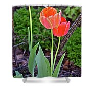 2016 Early May Tall Red Tulips Shower Curtain