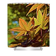 2016 Japanese Maple In The Sunlight Shower Curtain