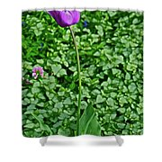 2016 Mid May  Exotic Purple Tulip Shower Curtain