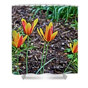 2016 Mid May Meadow Garden Tulips Shower Curtain