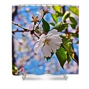 2016 Olbrich Cherry Blossoms 2 Shower Curtain