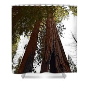 Giant Sequoia Trees Shower Curtain