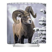 25084, Bighorn Sheep, Winter, Jasper Shower Curtain