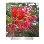 Australia - Red Flower Of The Callistemon Shower Curtain
